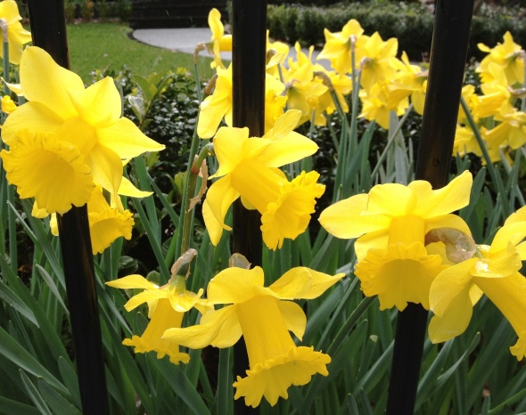 Daffodils en-route to Morwell